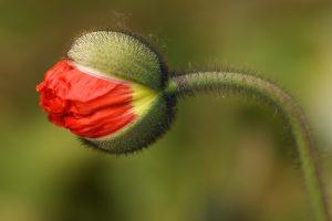 poppy-flower-1396929_1920